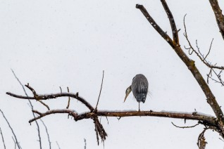 Preening in a spring snow